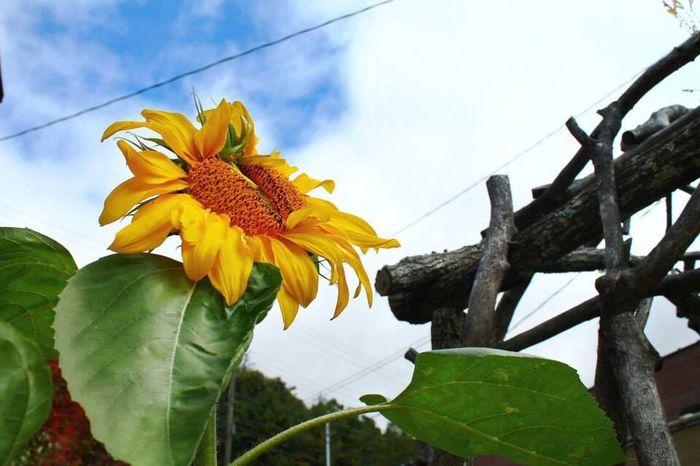 Flowers flowers sunflowers color colors spruce pine nc northcarolina Carolina Daniel dyer