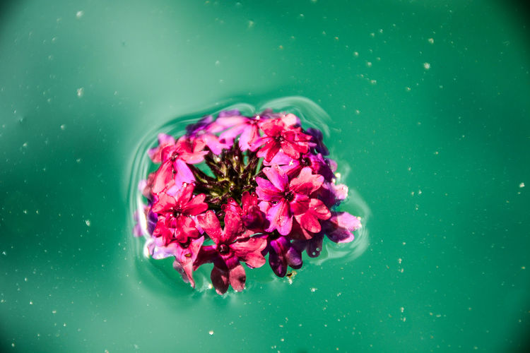 Close-up of pink flowers floating on water