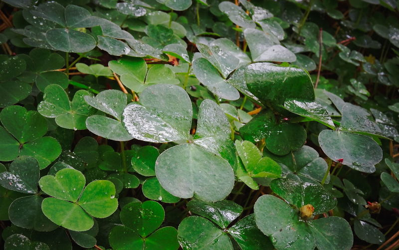 Clover Creeping Woodsorrel Beauty In Nature Drop Freshness Green Color Growth Leaf Nature No People Outdoors Plant Water Wet