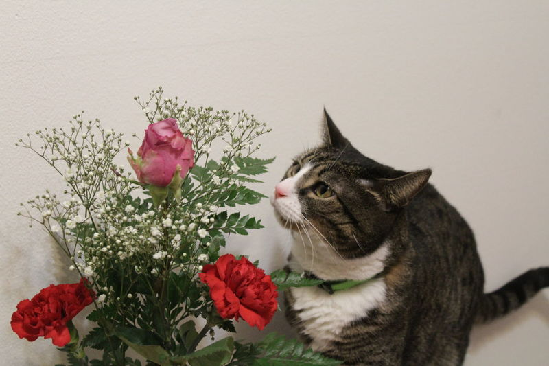13/365 Animal Themes Beauty In Nature Day Domestic Animals Domestic Cat Feline Flower Fragility Freshness Indoors  Kitty Mammal Nature No People One Animal Pets Tripod Kitty Valentine's Day