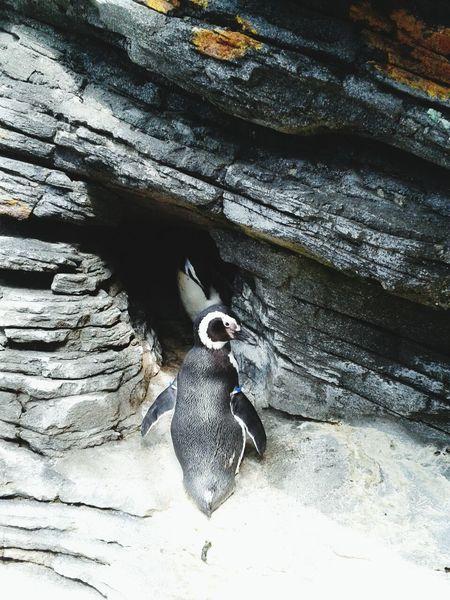 Pingüino Oceanário