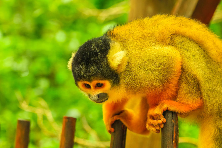 Bolivian Squirrel Monkey. Orange-brown Monkey in the forest, Saimiri Boliviensis species living in South America, Amazon rainforest basin of Brazil. Fruits Monkey Monkeys Animal Wildlife Primate Ape Forest Nature Wild Trees South Africa South America Amazon Rainforest Rainforest Feeding  Mammal Bolivian Squirrel Monkey Squirrel Monkey Bolivia Brazil Animal Themes One Animal Animal Wildlife Focus On Foreground Vertebrate Animals In The Wild Close-up No People Day Young Animal Wood - Material Outdoors Looking Zoology Yellow Plant