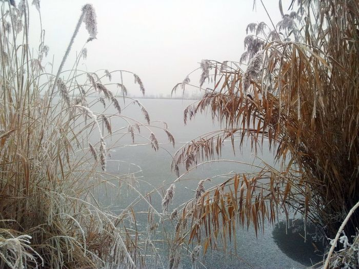Frozen lake Beauty In Nature Clear Sky Day Nature No People Outdoors Reeds Sky