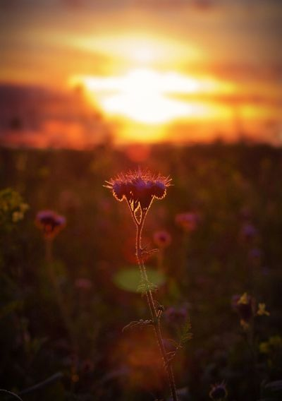 Growth Nature Sunset Flower Beauty In Nature Plant Fragility Uncultivated Field Petal Outdoors Flower Head Freshness Tranquility No People Close-up Blooming Sky Day EyeEmNewHere