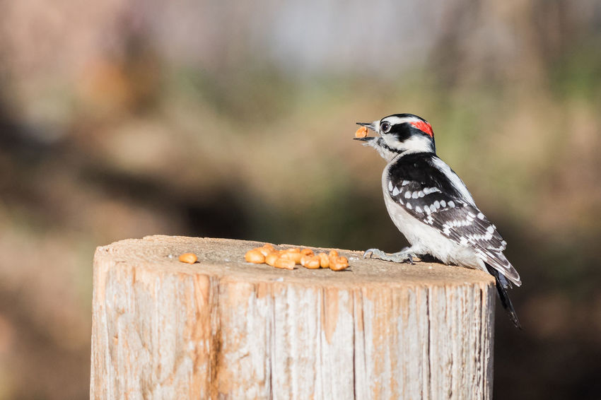 Male Downy Woodpecker eating peanuts Bird Photography Birds Of EyeEm  Downy Woodpecker Downy Woodpecker Male MidWest Picoides Pubescens Songbird  Species Bird Birds_collection North American Outdoors Woodpecker