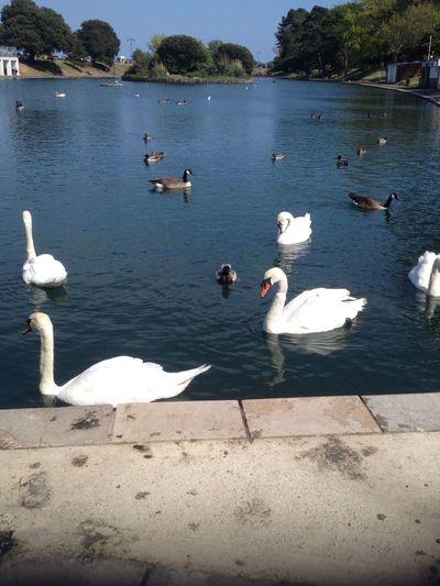 Swans Ducks Lake Birds Of EyeEm  Isle Of Wight  Hidden Gems