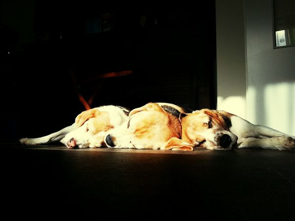 mijn trio Beagles  Cute Dog Beagle Animal_collection Dogoftheday