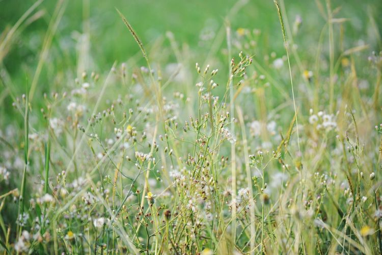 Defocused Cereal Plant Rural Scene Summer Flower Field Backgrounds Meadow Close-up Grass Ear Of Wheat Grain Crop  Combine Harvester Oilseed Rape Timothy Grass Farm Hay Bale Corn - Crop Agriculture Plantation Rice Paddy Bale  Blade Of Grass Wheat Dew Cultivated Land Farmland Barley Agricultural Field