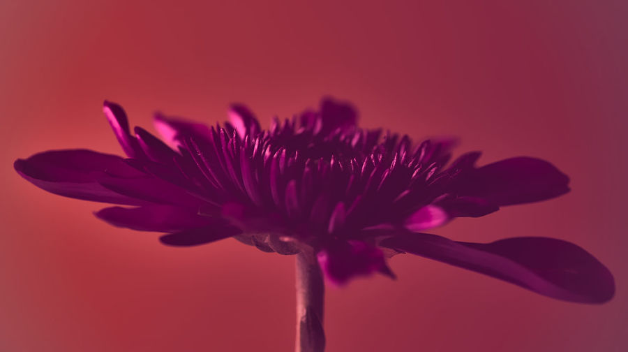 Close-up of pink flower against red background
