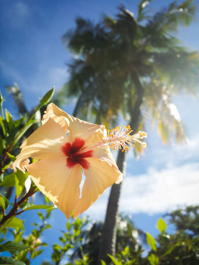 Hibiscus Maldives Tropical Photooftheday Freelance Life Flowers Coconut Trees Bluesky Island Hudhuranfushi From My Point Of View