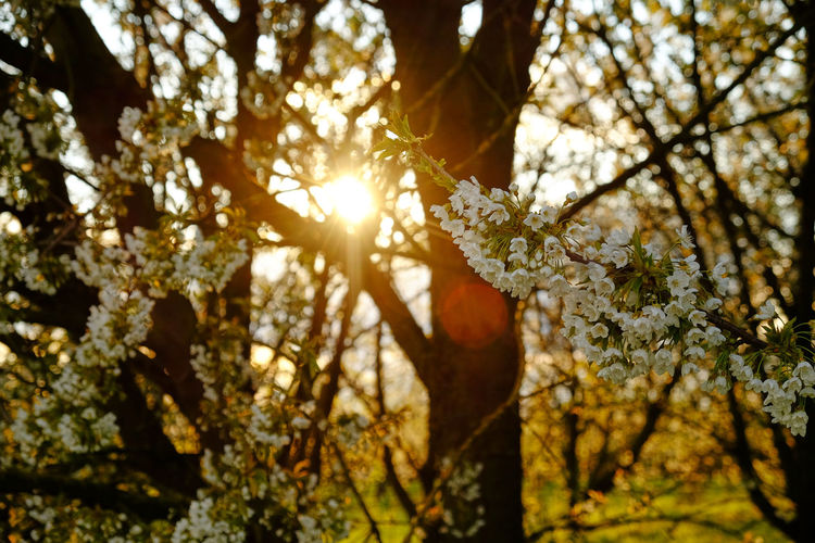 Tree Plant Beauty In Nature Growth Sunlight Branch Nature Day Flowering Plant Flower Low Angle View Tranquility No People Focus On Foreground Outdoors Sky Sunbeam Sun Fragility Springtime Lens Flare Bright Streaming Cherry Blossom