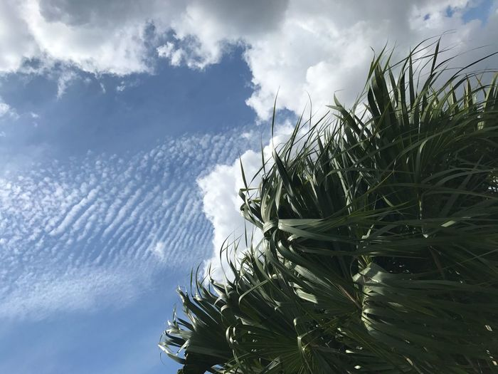 Sky Cloud - Sky Nature No People Tree Tranquility Beauty In Nature Growth Outdoors Low Angle View Day Scenics Tranquil Scene Close-up the different cloud formations were asking to be immortalized On A Blustery Winters Day Here In Florida In Vero Beach The Week on EyeEm