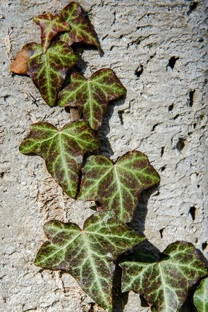 A new sprig of ivy climbing on a concrete wall. Hedera, commonly called ivy, is a genus of 12–15 species of evergreen climbing or ground-creeping woody plants in the family Araliaceae, native to western, central and southern Europe, Macaronesia, Climber Close-up Concrete Wall Creeper Evergreen Garden Wall Growth Hedera Ivy Ivy Leaves Leaf Nature New Life Outdoors Plant Spring Surrey Uk Wall