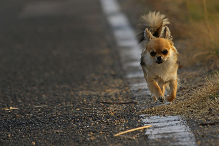 Portrait of chihuahua walking on road