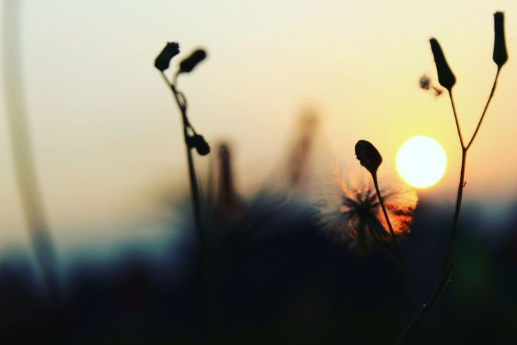 Close-Up Of Silhouette Flowering Plants Against Sunset Sky