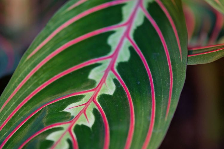 Houseplant Beauty In Nature Close-up Day Focus On Foreground Freshness Green Color Growth Leaf Maranta Leuconeura Nature No People Outdoors Plant