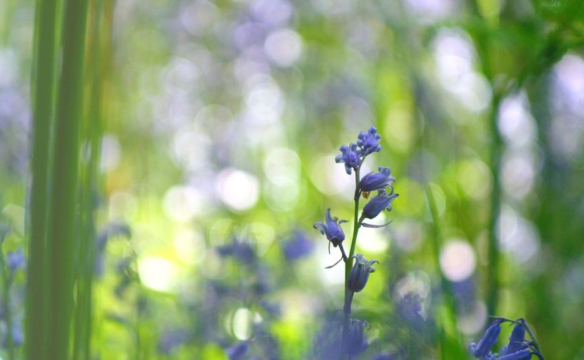 Petals Scotland Woods Bluebell Bluebells Green Plant Beauty In Nature Flower Fragility Focus On Foreground Close-up Flowering Plant Freshness Vulnerability  Nature No People Growth