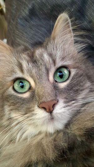 Cat Pet Life  Green Eyes MyLove❤ Pet Portraits