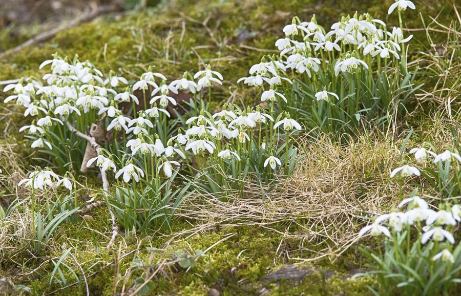 Der Frühling kommt - Spring is coming Beauty In Nature Close-up Day Field Flower Freshness Frühling Grass Green Color Growth Nature No People Outdoors Schneeglöckchen Snowdrops Sprig Spring Flowers Springtime