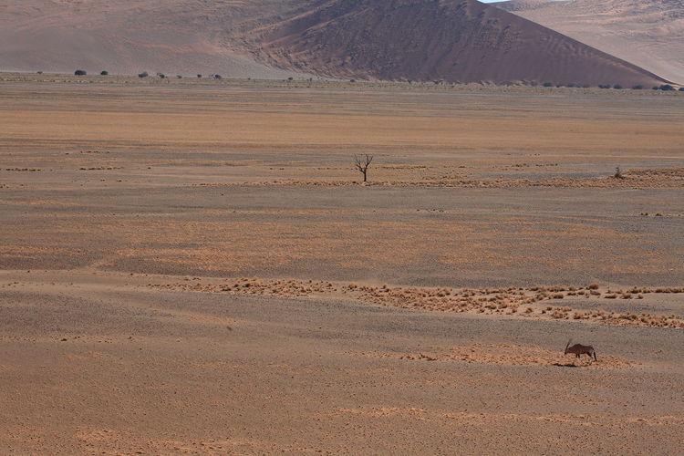 Scenic view of oryx in namib desert, africa