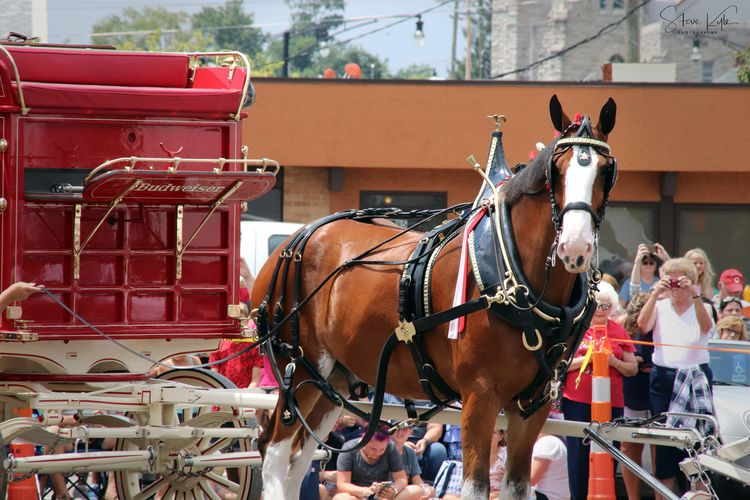 Anheuser-Busch Clydesdales Animal Themes Architecture Bridle Building Exterior Built Structure Close-up Day Domestic Animals Horse Horse Cart Horsedrawn Livestock Mammal No People Outdoors Two Animals Working Animal