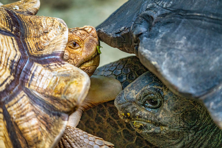 Close-up of two turtles fighting