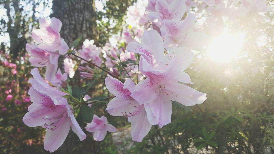 Tranquil Scene Sunlight Sunbeam Awaken Sunrays Branch Azalea Blossoms Fragility Petal EyEmNewHere Tranquility Day Freshness Backgrounds Sky Outdoors Beauty In Nature Tree Growth EyeEmNewHere
