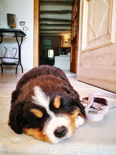 Dog Pets One Animal Domestic Animals Indoors  Mammal Animal Themes No People Day Beagle Close-up