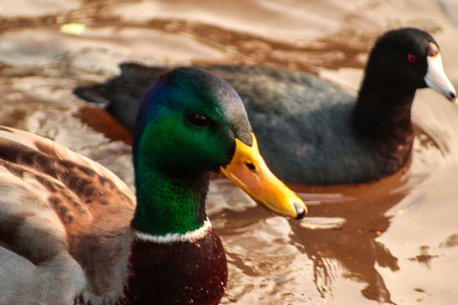 Wildlife Photography Wildlife & Nature Kit Carson Park Pond Ducks Duck Here Belongs To Me Two Is Better Than One