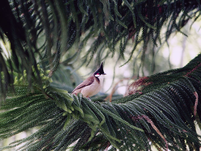 Red-whiskered bulbul perching on tree branch