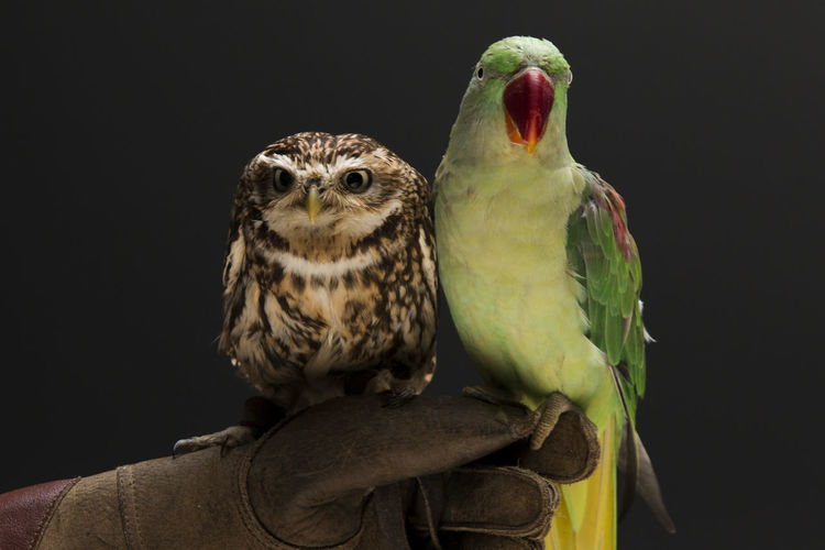 Cropped image hand holding parrot and owl against black background