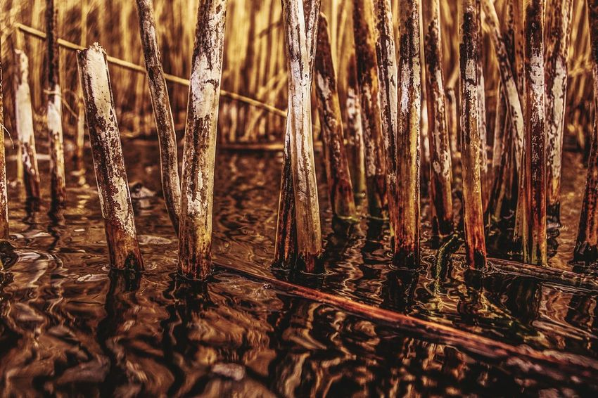 dead cattails Cattails Dead Dead Cattails Brown Color Water Lake Washington Shot With A Pentax Fishing Trip Dead Reflections Habitat Ecosystem  Lake Ecosystem Natural Lighting PENTAX K-70 Nature No People Plant Close-up Brown Day Outdoors Water Stick - Plant Part Abundance