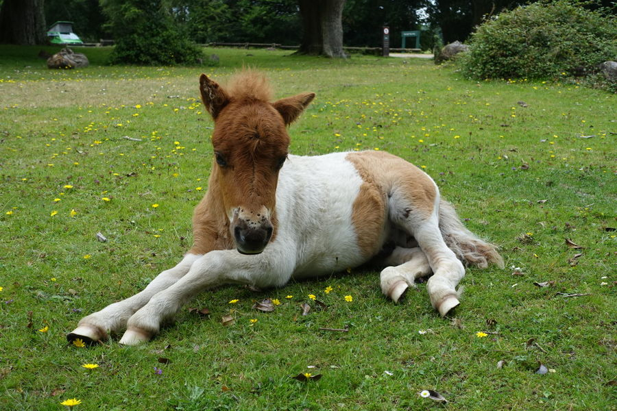 A baby pony lying down. Animal Animal Themes Baby Pony Day Domestic Animals Field Foal Grass Grassy Green Color Growth Lawn Lying Down Mammal Nature No People Outdoors Pets Pony Relaxation Resting