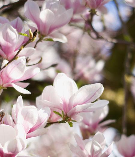 Flower Head Flower Tree Branch Springtime Pink Color Defocused Natural Parkland Closing Blossom Magnolia Plant Life Botany