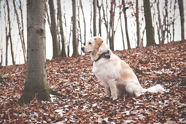 Golden Retriever Sitting On Field Against Trees During Winter