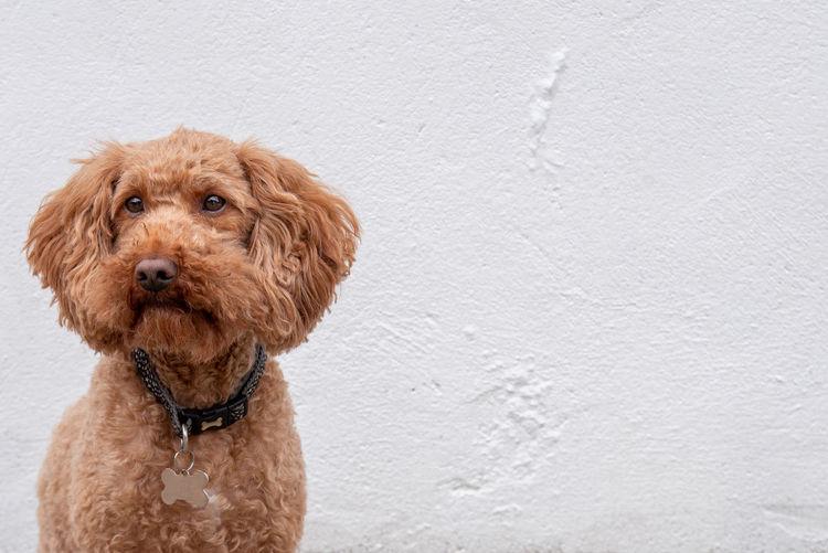 Ginger Dog on