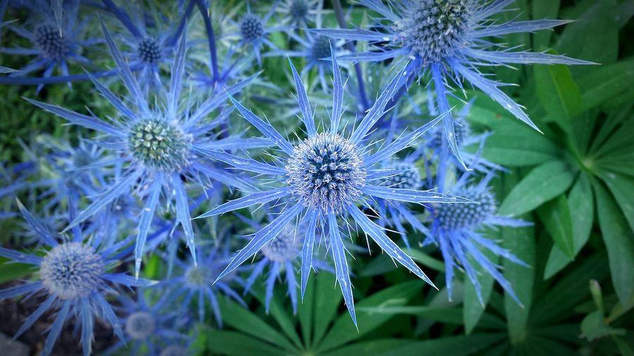 Thistle Blue EyeEm Best Shots Nature_collection EyeEm Nature Lover Washington State Flowers,Plants & Garden EyeEmBestPics
