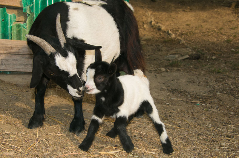 Portrait of baby goat kissing her mother Dwarf Farm Goats Love Tibetan Goat Adorable Animal Animal Family Animal Themes Animals Baby Goat Black And White Cute Field Herbivorous Kid Goat Kissing Livestock Lovely Mammal Mom And Son Newborn Puppy Two Animals Young Animal
