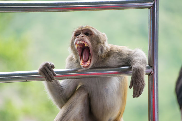 Aggression  Animal Mouth Animal Wildlife Animals In The Wild Ape Bagan Bagan, Myanmar Day Emotion Facial Expression Focus On Foreground Mammal Mouth Mouth Open No People One Animal Primate Vertebrate Yawning Zoology