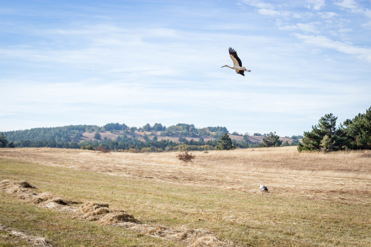 animal themes, animals in the wild, animal wildlife, animal, vertebrate, bird, one animal, sky, day, landscape, no people, cloud - sky, land, flying, nature, environment, plant, field, spread wings