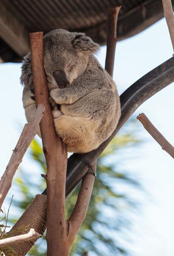 Low angle view of koala sleeping on wood