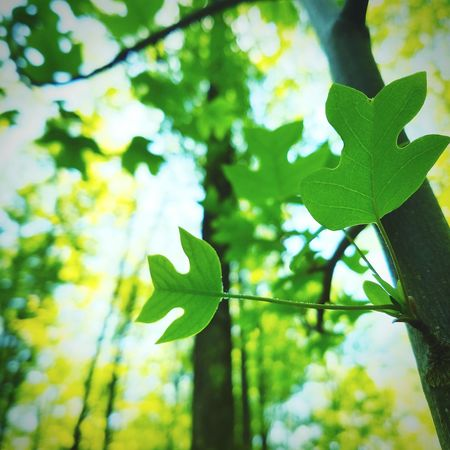 Baby Tulip Poplar leaves...my favorite. Liriodendron Tulipifera Liriodendron Tulipifera Liriodendron Tulipifera Tulip Poplar Tree Sapling Nature_collection Nature Photography Naturelovers Forest Forest Photography