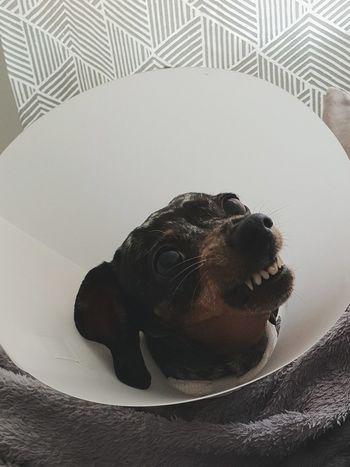 Dangerous Doxie. Dachshund Weeniedog Dachshund Danger Close-up