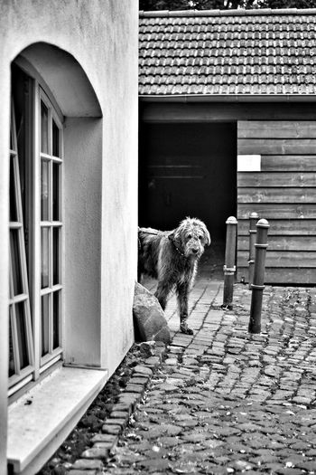 Peekaboo Animal Themes Domestic Animals Dog Built Structure Architecture Domestic Cat Building Exterior Paving Stone Baby Boy ♥ Dogs Of EyeEm Gentle Giant. Dogs Irish Wolfhound Willi The Wolfhound Curiosity