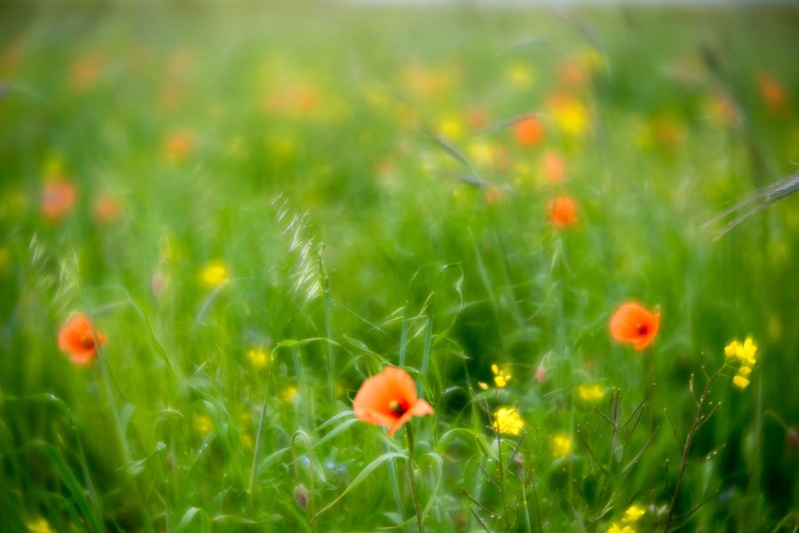 Outer Hebrides Beauty In Nature Close-up Delicate Flower Flower Head Flowers Fragility Freshness Grass Green Color Growth Machair Meadow Nature No People Outdoors Plant Poppies  Poppy Poppy Flowers Rural Scene Selective Focus Tranquility Velvet56