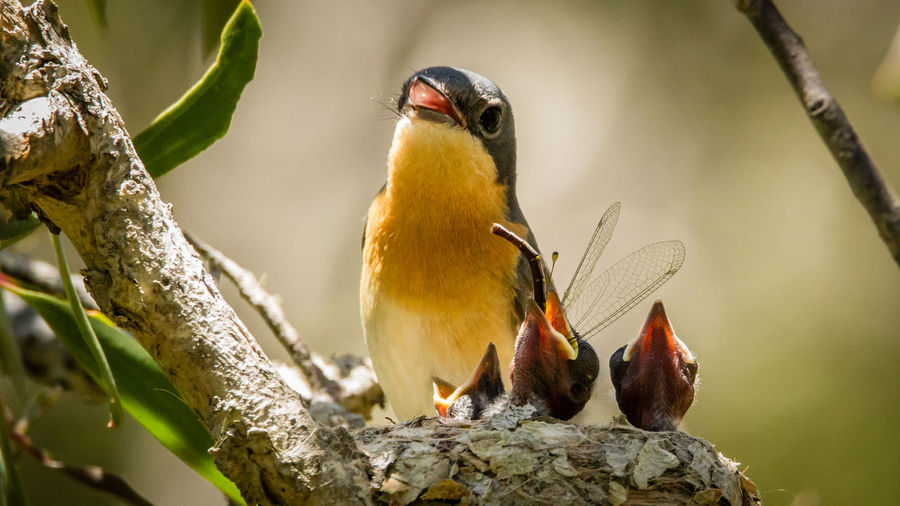 mother feeding young Animal Themes Animals In The Wild Beginnings Bird Birds Chick Close-up Dragon Feeding  Growth Life Nature Nature New Life New-beginnings No People One Animal Perching Wildlife Wildlife Photographer Zoology