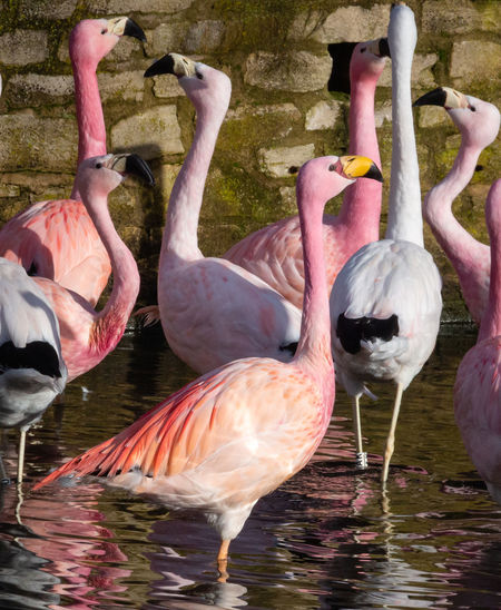 Bird Pink Color Animal Flock Of Birds Flamingo Group Of Animals Lake Water Standing