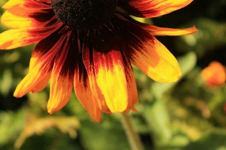 The sunflower is mine, in a way. - Vincent van Gogh Sunflower