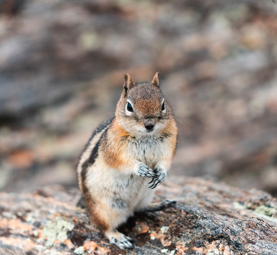 Portrait of squirrel on rock