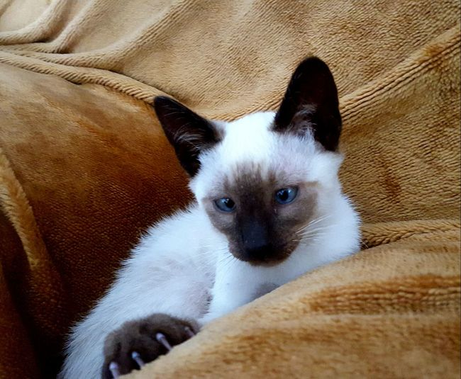 Pets Domestic Animals One Animal Animal Themes Mammal Dog Looking At Camera Portrait No People Indoors  Day Close-up Relax Animal Cat Siamese Siamese Cat Animal Wildlife